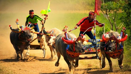 Makepung Buffalo Race